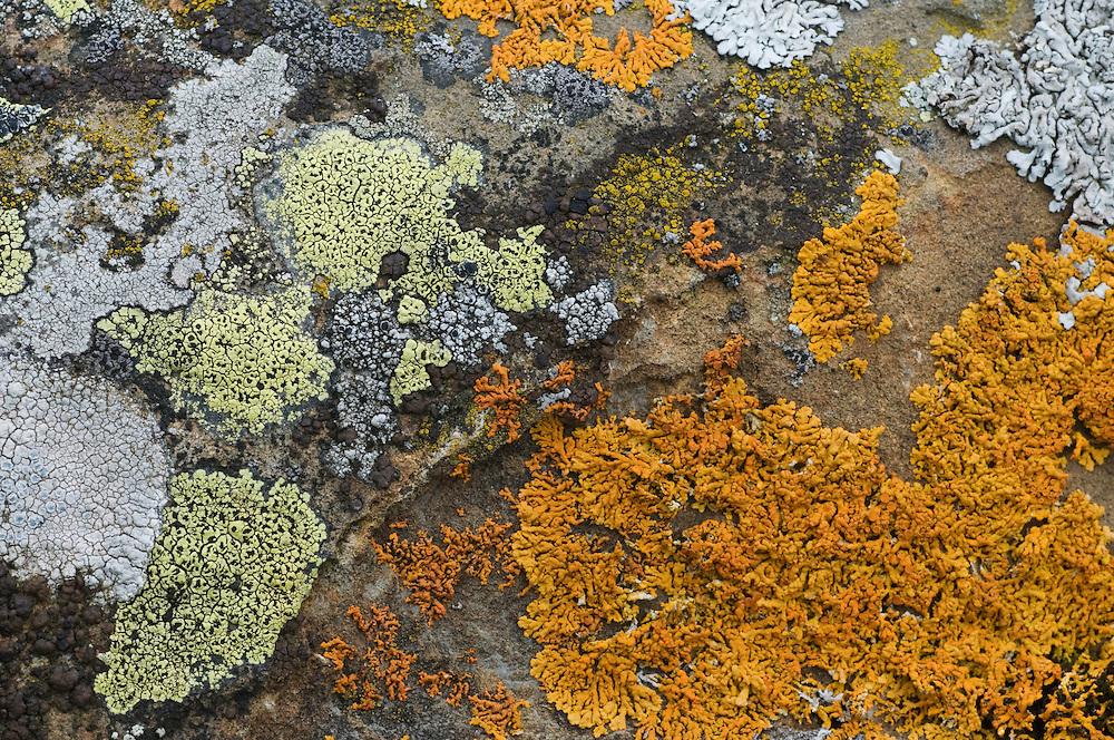 Rhizocarpon geographicum; Map lichen; Lecanora muralis; Lichene, Ruggellerriet, Liechtenstein