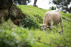 15 March 2019, Ma'alul, Israel: Ma'alul, a Palestinian village destroyed in the 1948 Arab-Israeli war, sees a visit by ecumenical accompaniers from the World Council of Churches Ecumenical Accompaniment Programme in Palestine and Israel. Cows graze on the hillside in Ma'alul. A Bedouin family has received permission to use the hill for their cattle, including the intermittent use of the old church structures as barns.