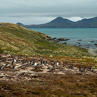 A gentoo penguin colony on a grassy hillside at Moltke Harbour on South Georgia Island.