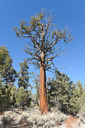 Jeffrey Pine San Bernardino National Forest