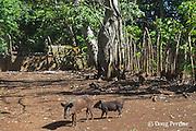 pigs, Hunga Village, Hunga Island, Vava'u, Kingdom of Tonga, South Pacific