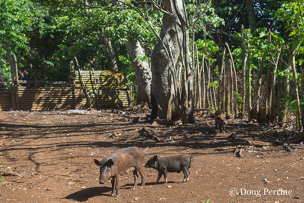 pigs, Hunga Village, Hunga Island, Vava'u, Kingdom of Tonga, South Pacific