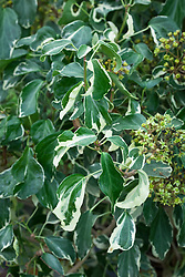 Hedera helix 'Jara' (arboreal form). Ivy.