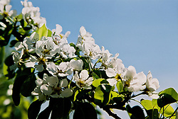 Apple-Tree Blossoms