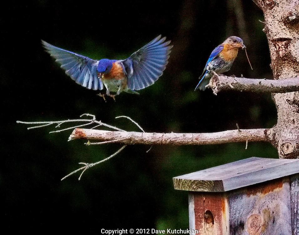 BLUE BIRDS FEEDING YOUNG AT BIRDHOUSE