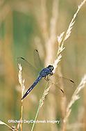 06620-001.03 Slaty Skimmer (Libellula incesta) male in wetland, Marion Co. IL