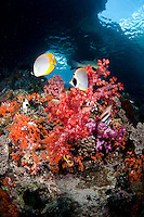 Panda Butterflyfish Pair and Colorful Soft Corals.Shot in West Papua Province, Indonesia
