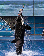 "A trainer is thrust into the air while she ""dances"" with an Orca (killer whale) during the Believe show at SeaWorld Orlando."