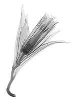 X-ray image of a Korean fairy bells flower (Disporum uniflorum, black on white) by Jim Wehtje, specialist in x-ray art and design images.