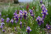 After a rare rainy season in the Judaea Desert and on the shores of the Dead Sea an abundance of wildflowers sprout out and bloom. Purple white and yellow Rainbow Toadflax (Linaria haelava).  Photographed on the shores of the Dead Sea, Israel in February