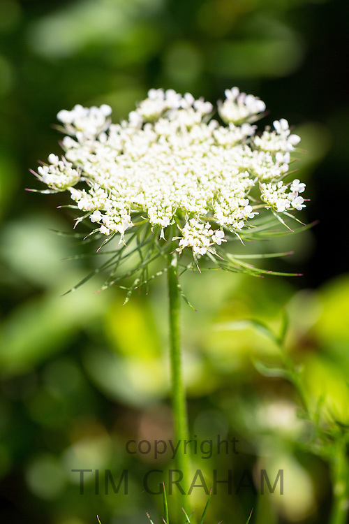 Wildflower Wild Carrot, Daucus carota, also known as Queen Anne's Lace, in garden in The Cotswolds, England, UK