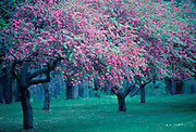 Cherry Trees in Blossom in Washington's Grossing State Park.