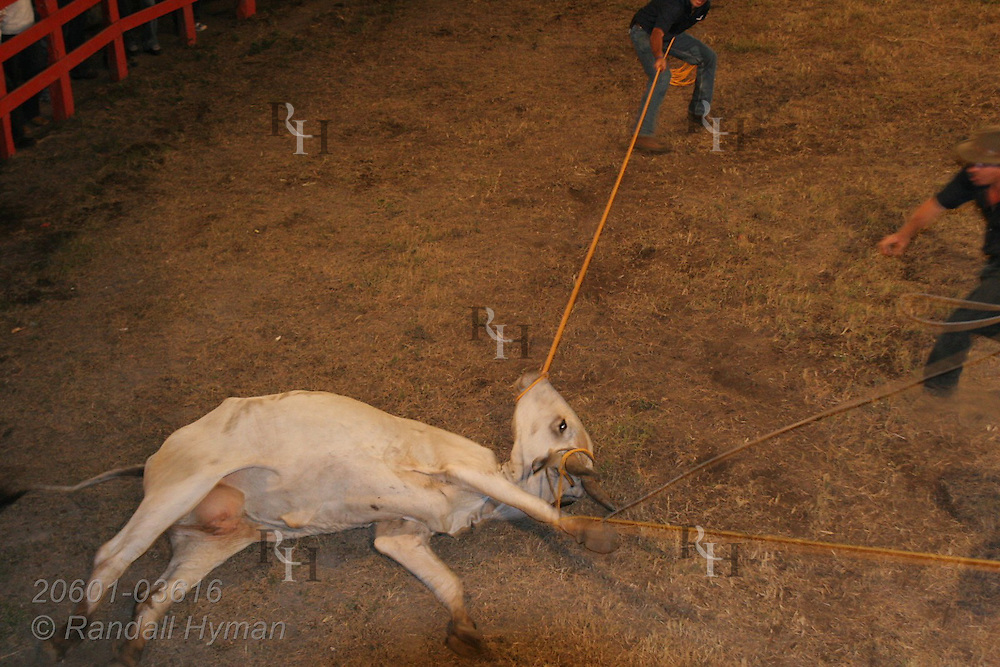 Cow suffers indignity of being lassoed at rodeo in Atenas, Costa Rica.