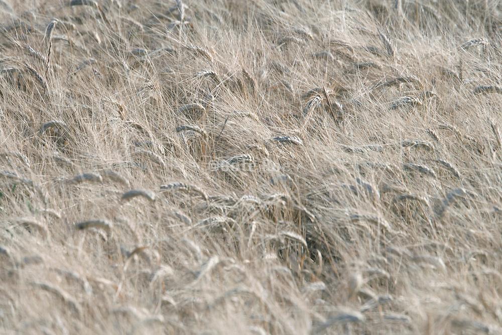ripe heads in wheat field