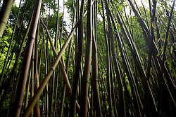 The bamboo forest at Nailiili-Haele Falls in Kailua, Hi, Saturday, Jan. 20, 2018. (Photo by D. Ross Cameron)