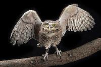 Burrowing Owl (Athene cunicularia); Captive
