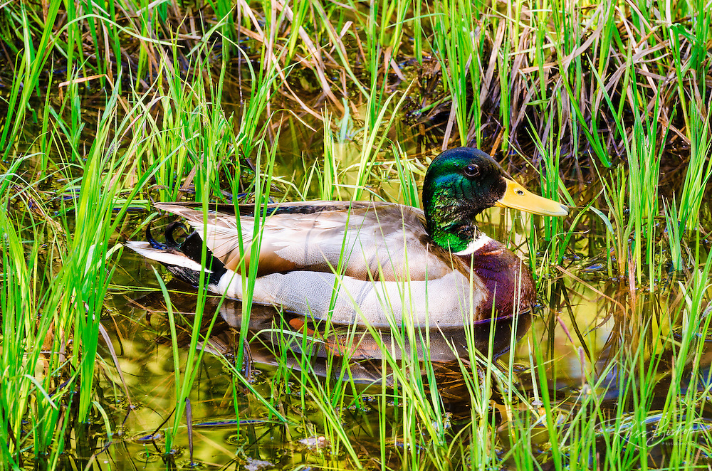 Mallard duck, Yosemite Valley, Yosemite National Park, California USA