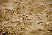 close up of wheat heads in the field partly focussed