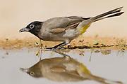 Yellow-vented Bulbul (Pycnonotus xanthopygos) on a brunch, negev desert, israel