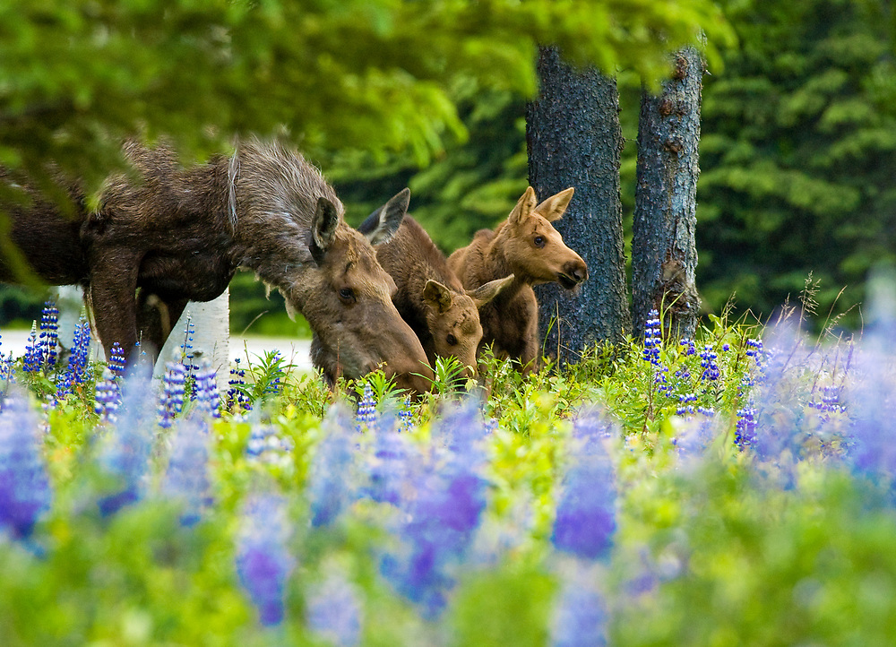 A mama moose and moose calves are at the top of the tourist list of must sees.  Do not get to close as the Mama moose is Very protective and will charge with determination.