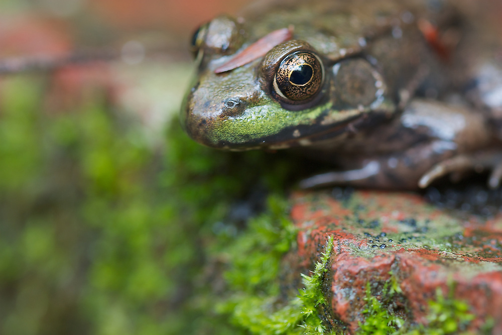 Frog and mossy rock, macro.