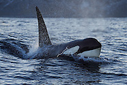 Orcas and humpbacks, Norway