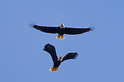 A bald eagle (Haliaeetus leucocephalus) chases another in the sky over Hood Canal near Seabeck, Washington. Bald eagles migrate to the area in the early summer to feed on migrating midshipman fish and skirmishes between the eagles are common.