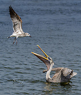 Brown Pelican and Laughing Gull, fighting for the same fish