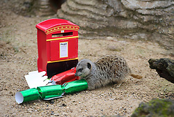© Licensed to London News Pictures. 18/12/2012 London, UK. Festive treats are given to the Meerkats at Whipsnade Zoo, Bedfordshire..Photo credit : Simon Jacobs/LNP