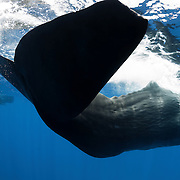 A view of the underside of an adult female sperm whale's fluke as it swims past. This whale and the others visible in the background were part of a superpod of sperm whales (Physeter macrocephalus) comprising up to 100 individuals.
