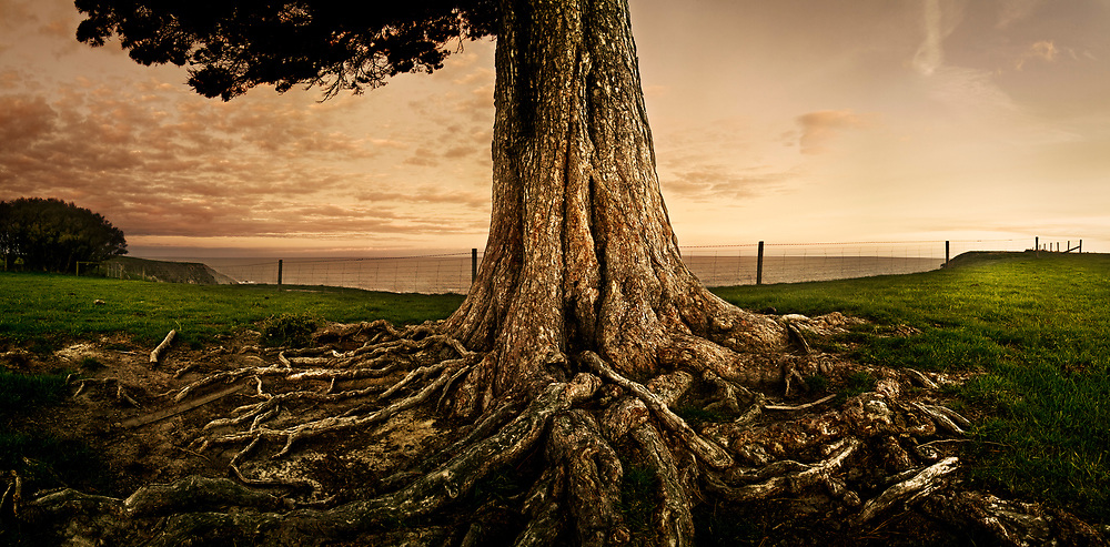 Old Man Pine tree on Kaikoura Peninsula walkway, showing gnarled roots in soft evening light, Canterbury, New Zealand