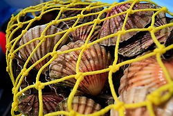 UK ENGLAND CORNWALL FALMOUTH 11JUN08 - Detail of a net full of Scallops caught by scallop diver Dave Thomasson in Falmouth Bay. The bay around Falmouth is a special area of conservation for Maerl beds and a rich picking ground for Scallops...jre/Photo by Jiri Rezac / WWF UK..© Jiri Rezac 2008..Contact: +44 (0) 7050 110 417.Mobile:  +44 (0) 7801 337 683.Office:  +44 (0) 20 8968 9635..Email:   jiri@jirirezac.com.Web:    www.jirirezac.com..© All images Jiri Rezac 2008 - All rights reserved.
