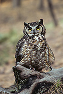 Great-horned owl perched on ponderosa pine log looks at photographer, © 1983 David A. Ponton