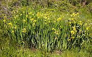 Flag iris plants yellow flowers, Lowland Point, Lizard Peninsula, Cornwall, England, UK