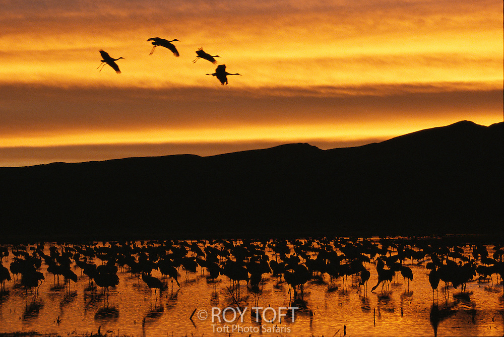Sandhill cranes, Grus canadensis, in water at sunrise.