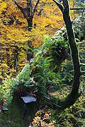 toter Baumstamm, Kamnitzklamm, Hrensko, Böhmische Schweiz, Elbsandsteingebirge, Böhmen, Tschechische Republik | dead tree, Kamnitz Gorge, Hrensko, Bohemian Switzerland, Elbe Sandstone Mountains, Bohemia, Czech Republic