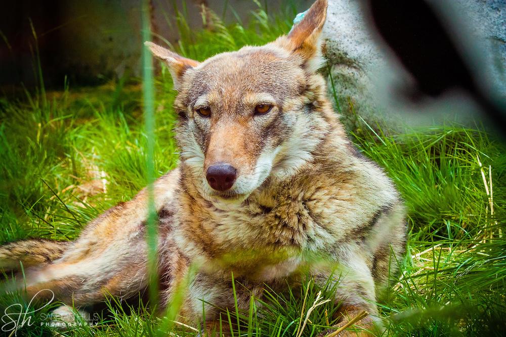 Red Wolf - Point Defiance Zoo - Tacoma, AZ