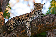 A female leopard, Panthera pardus, on a large tree branch looking at the camera.