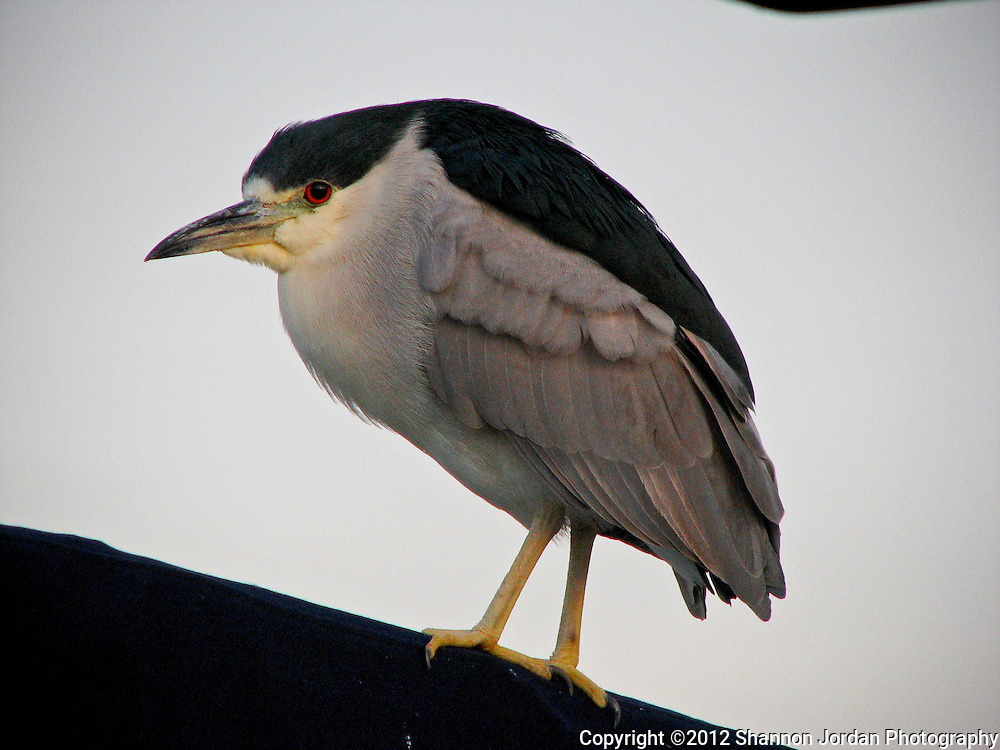 A Night Heron sits perched on a boat mast in the Santa Barbara Harbor. The central coast of California is one of the most scenic areas of the United States. The natural beauty and wildlife are abundant and breathtaking. You can find more than 200 species of birds, both land and sea birds, on this scenic and spectacular stretch of California..The National Audubon Society lists Morro Bay and the central coast of California, including Santa barbara as a Globally Important Bird Area. Thousands of migratory birds spend part of the year here..Shorebirds such as marbled godwits, willets, curlews with their long curved bills and tiny sandpipers find a bountiful feast in the mudflats of the estuary at Morro Bay. Black brant geese migrate from spots on the Alaskan shore to feed on the rich eelgrass beds. Fluttering terns, brown pelicans, graceful egrets and herons are also part of the seasonal mix...