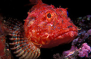 Northern scorpion fish