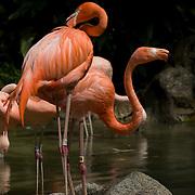 Flamingo in Zoo. Los Angeles, CA. USA