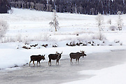 Three Bull Moose Crossing River in Winter