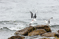 Red-legged Kittiwakes (Rissa brevirostris) vocalizing on St. Paul Island in Southwest Alaska. Summer. Afternoon.