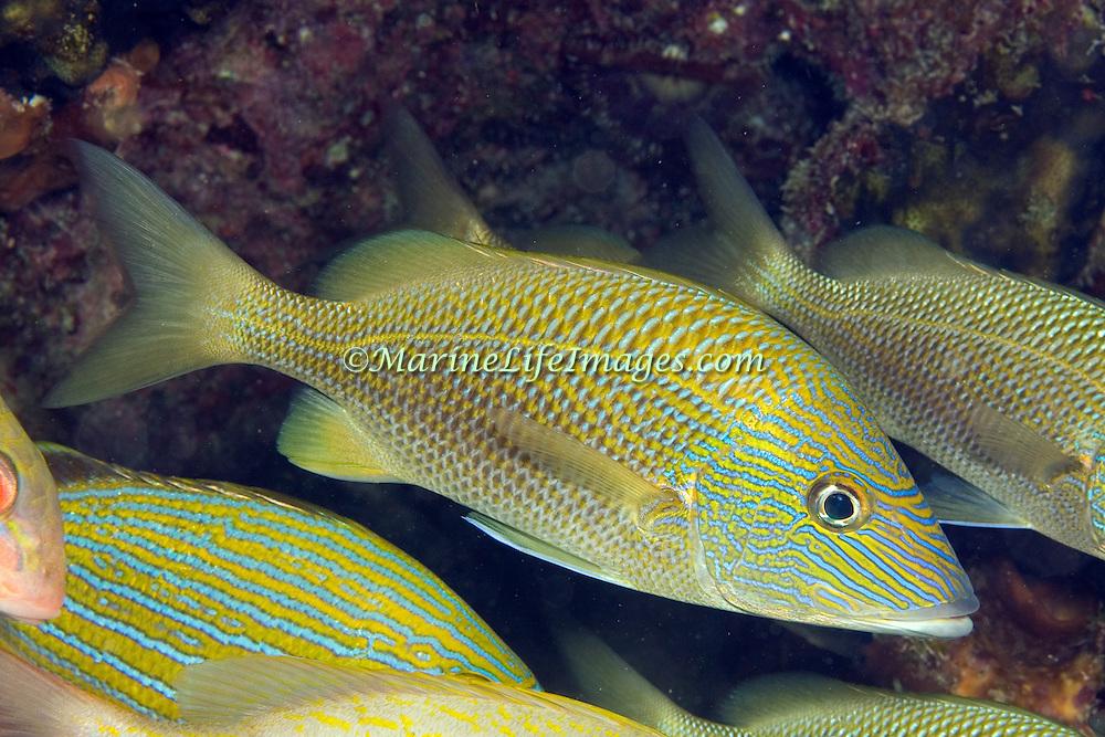White Grunt inhabit reefs in Tropical West Atlantic; picture taken Key Largo, FL.