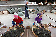 At a tea factory in the city of Menghai local women sort dried tea leaves. Pu'er tea is a variety of fermented dark tea produced in Yunnan province of SW China and easily recognised in its final form, as bricks or disc's of compressed tea. China's best and most famous pu'er tea is produced on any of six tea mountains which for centuries has produced the tea. These mountains privide the perfect climate for growing tea trees and throughout the region large tea trees exist, some over 1000 years old which must be climbed to reach the leaves. Rather like fine wine, the quality of the tea bricks increase with age as does the price.