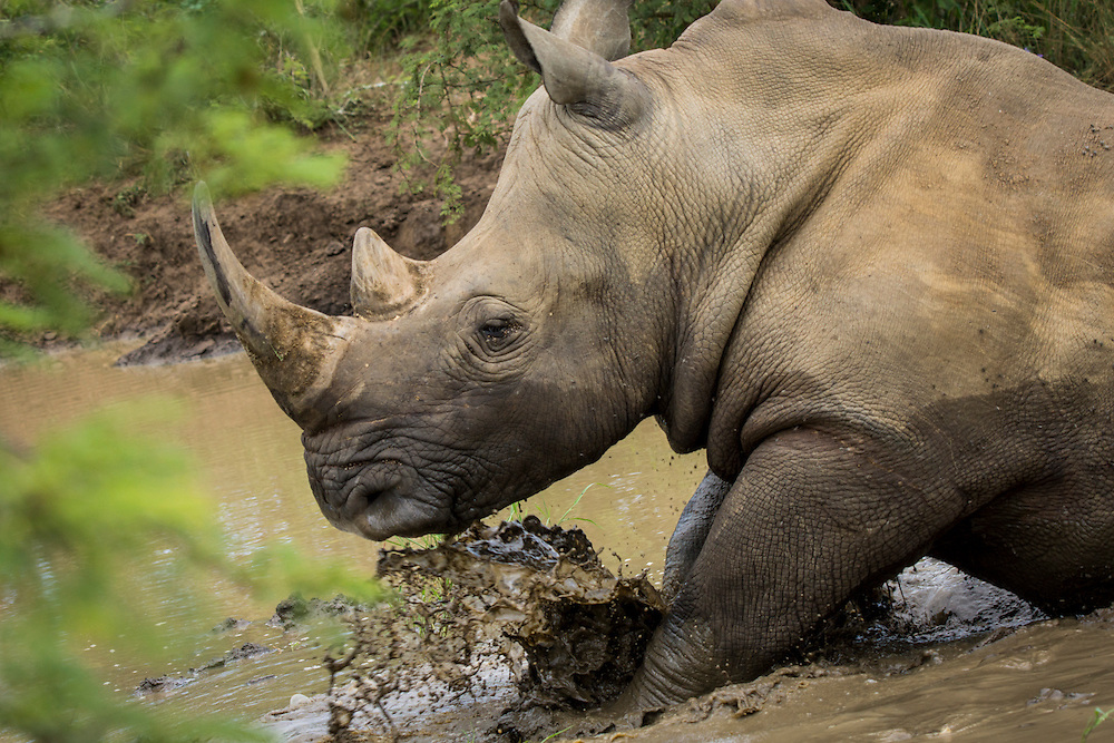 The African rhino or rhinoceros has two horns along with the Sumatran rhinoceros.  While the Indian and Javan rhinoceros has a single horn.  Rhinos are hunted by humans for their horns.  The horns are big business on the black market especially in Vietnam.  Rhino horns are ground up and consumed by some humans who believe they have therapeutic properties.