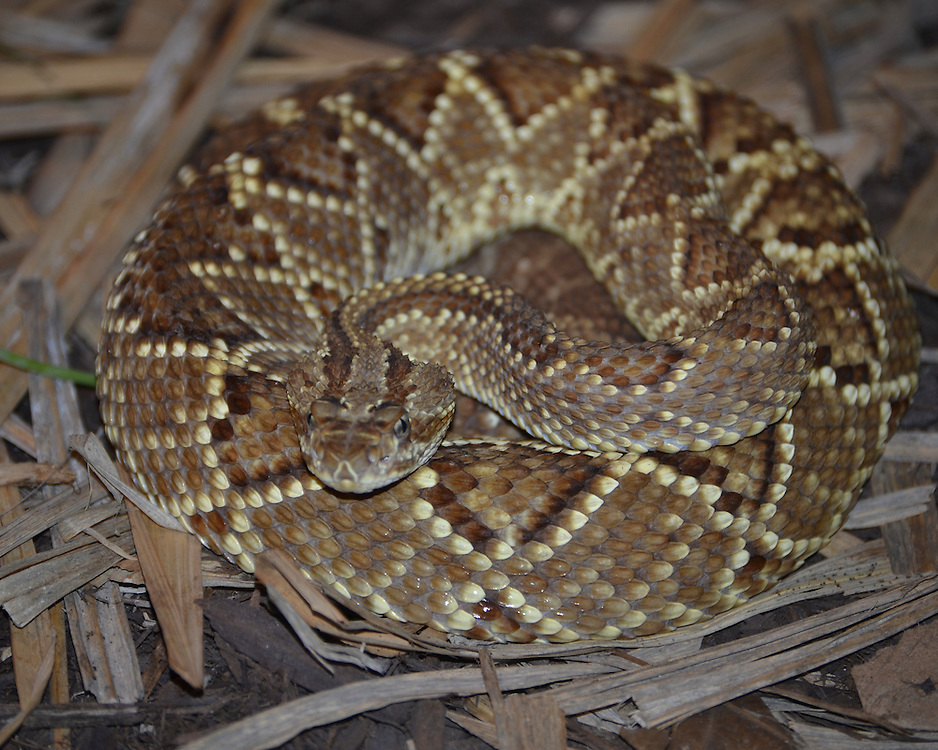 Diamond Back Rattlesnake at the Pittsburgh Zoo