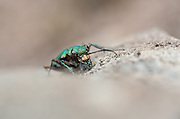 A beetle might not be an obvious choice for Orkney's fiercest carnivore but with powerful jaws and compound eyes the Green Tiger Beetle is a fearsome predator of other insects.