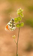 Orange Tip butterfly (Anthocharis cardamines) is a butterfly in the Pieridae family. Photographed in Israel in March