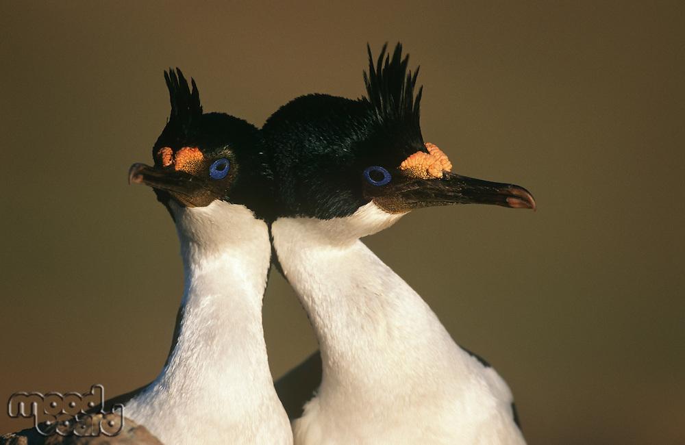 UK Falkland Islands King Cormorants head to head close up